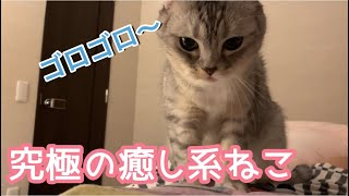 究極の癒し系ねこ【町家猫カフェうたねこ堂チャンネル】