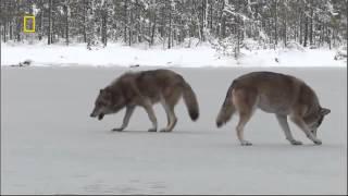Дикая природа России  Сибирь 1