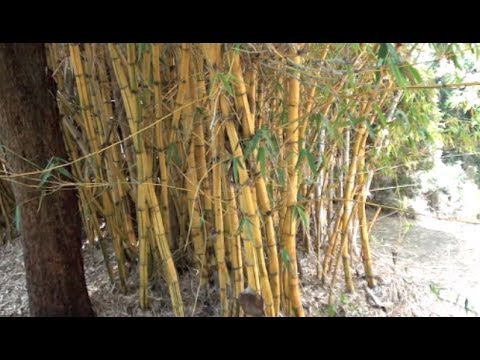 INVASIVE AND CLUMPING BAMBOO