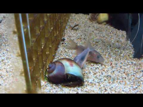 Cory Catfish Care And Information - How To Keep Corydoras