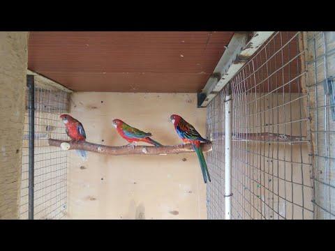 Разведение Розелл .Вылет птенцов , кормление и содержания