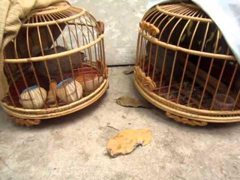 chim cu gáy ( mồi giao long) của phuong_kofk