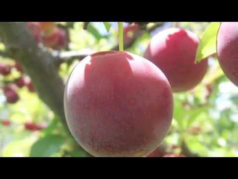 How to Plant Plum Trees