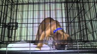 Hugo Boxer Puppy In His Crate Crying. Biting... Crate Training.