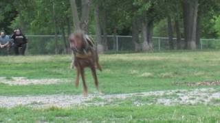 Zeus! The Red Doberman! W/ Zeus The Bulldog @ Dogford Park [hd]