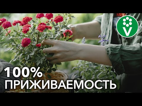 Как посадить РОЗУ весной? Учимся сажать розы по всем правилам