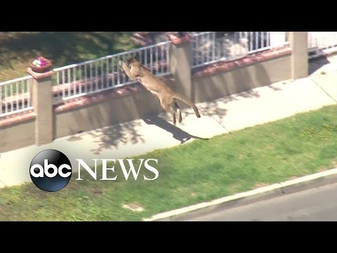 Index: Mountain Lion Causes Lockdown of a California School