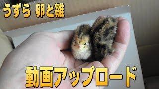 うずらの卵とヒナ 6月01日頃(生まれたころ) thumbnail