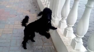 Малый черный пудель Гуффи, 9,5 месяцев, радуется после первого купания в речке)