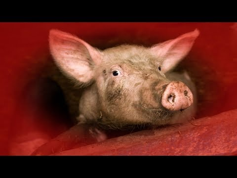 The True HORROR of our LUST for PORK!    [*Warning: Contains Graphic images*]