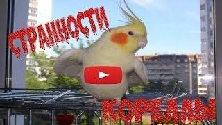 Странности попугая кореллы. Жизнь попугаев.(Необычное поведение моего попугая Савелия (Сявы). Это его любимая игрушка, из-за которой он может напасть..., 2016-04-26T09:53:27.000Z)