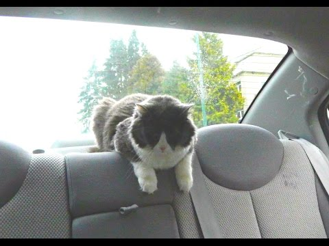 Cat loves car drives!