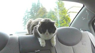 Cat loves car drives!