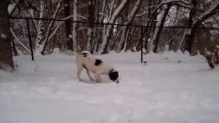 English Springer Spaniel - Willard From Maessr: Two Months In Foster Home = More Hair