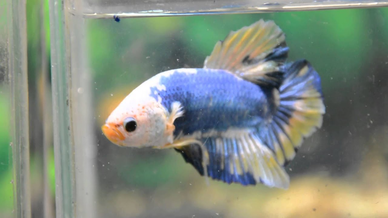 Paitune betta dsc 003 giant hmpk male size xl age 4 5 for Largest betta fish