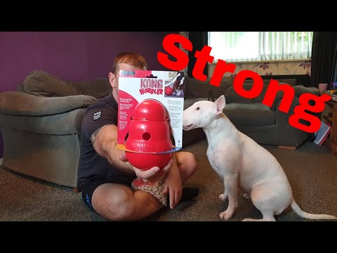 HOW TO keep English Bull Terriers entertained - Kong toy review