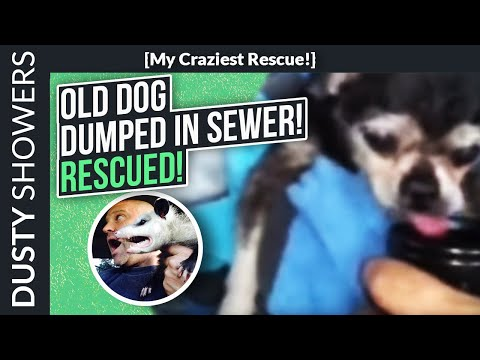 Blind Cripple Chihuahua Dumped In Sewer Finds Rescuer