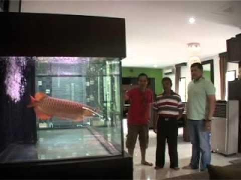 Extreme Jobs : Arowana Super Red (Arwana)