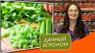 СЕЛЬДЕРЕЙ ДЛЯ УСПЕХА: листовой, черешковый Анита и другие вкусные виды сельдерея