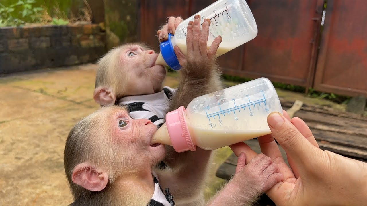 Download Alien Monkey eager to help mom shake formula forget to call Bibi Alice Monkey can't finish bottle