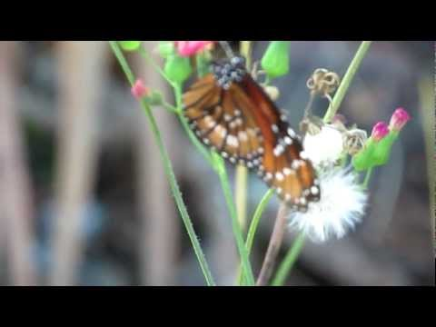 Soldier Butterfly:Danus erisimus