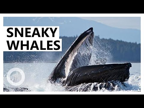 Humpback Whales Use Stealth To Sneak Up On Tiny Fish - TomoNews