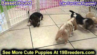 Basset Hound, Puppies, For, Sale, In, Detroit, Michigan, Mi, Waverly, Holt, Inkster, Wyandotte, Fore