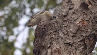 #Nature #Wildlife Funny #animal videos   #Squirrel jumping from one branch to another  Sweet Sound