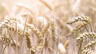 Đầu tư Lúa Mì là gì? Tại sao các nhà đầu tư thế giới thích giao dịch Lúa Mì? - Đầu Tư Hàng Hóa VNF