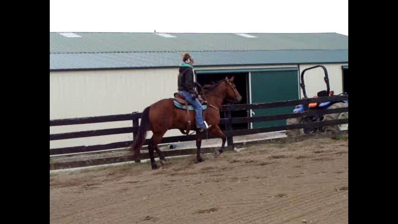 BIG STOUT 15 2 HAND BAY QUARTER HORSE GELDING, ROPED OFF ...