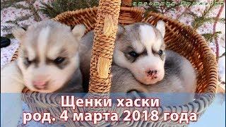 Предлагаем щенков хаски, родились 4 марта 2018 года