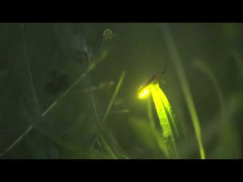 Insect name - Firefly