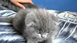 Шотландские котята  +380995252331