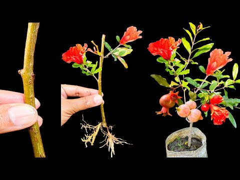 How to grow pomegranate from cutting....