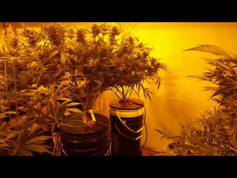 Weekly Multi Strain Flower Room DWC/Coco - PakVim net HD