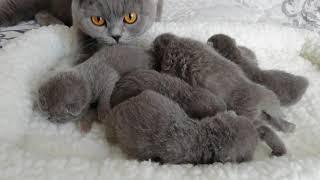 Британские котята, 1 неделя (Litter-J2)