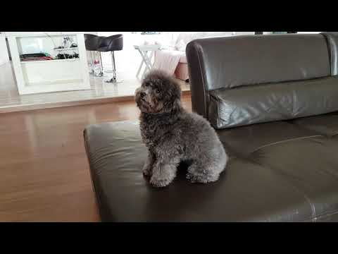 8 months old Lola the cute and fluffy silver toy poodle with puppy eyes