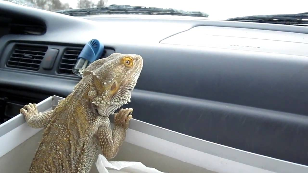 how to get rid of lizards in car
