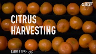 How Oranges Get Harvested | Localish
