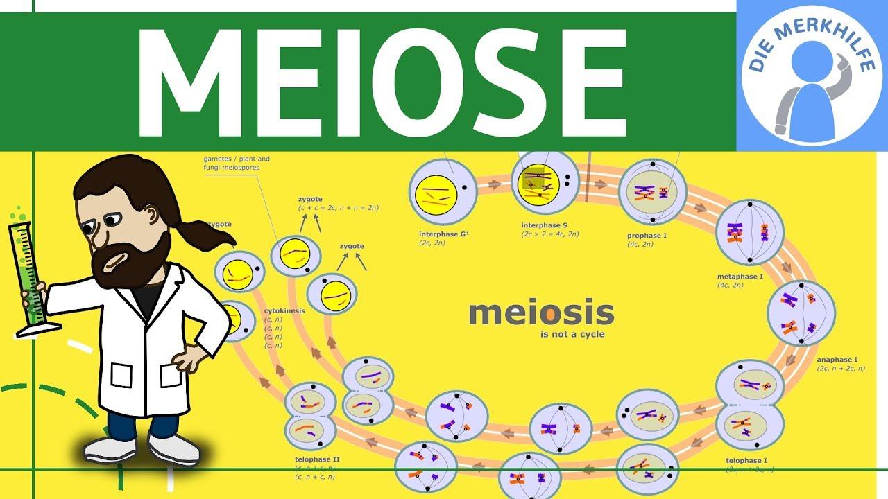 Meiose einfach erklärt - Zellteilung 2 - Zellzyklus, Ablauf, Phasen ...