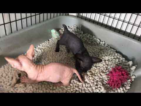 CRAZY Hairless SPHYNX/BAMBINO Kitten wrestling!!!