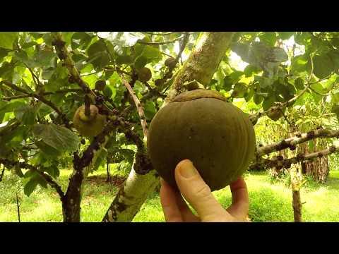 Jungle Survival Food | Chupa Chupa Fruit