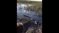 Alligator @ Sawgrass in Florida