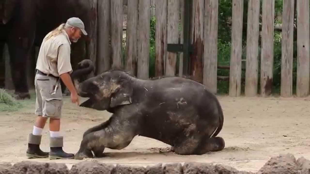 Training Belle The Baby Elephant Youtube