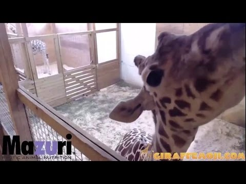 April kicks the vet! Then Kisses The Camera - April The Giraffe