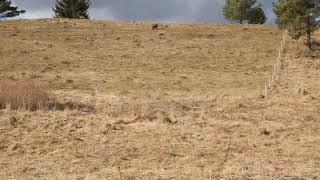 This fox will no longer kill our lambs. Chesapeake bay retriever Basti