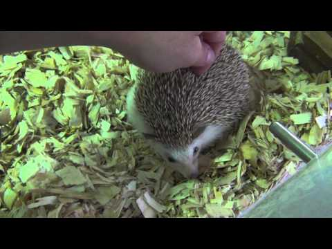 Everything you need to know about pet hedgehogs!