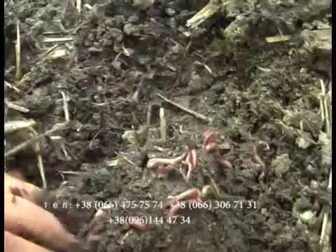 20 авг 2013. Кто знает, где можно преобрести калифорнийских червей или червей старателей. 30 червей можно купить в автомате за 50 рублей.