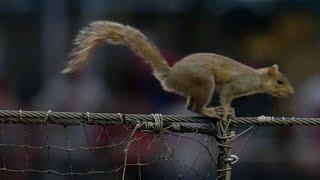 Squirrel Climbs Netting, Runs Into Dugout