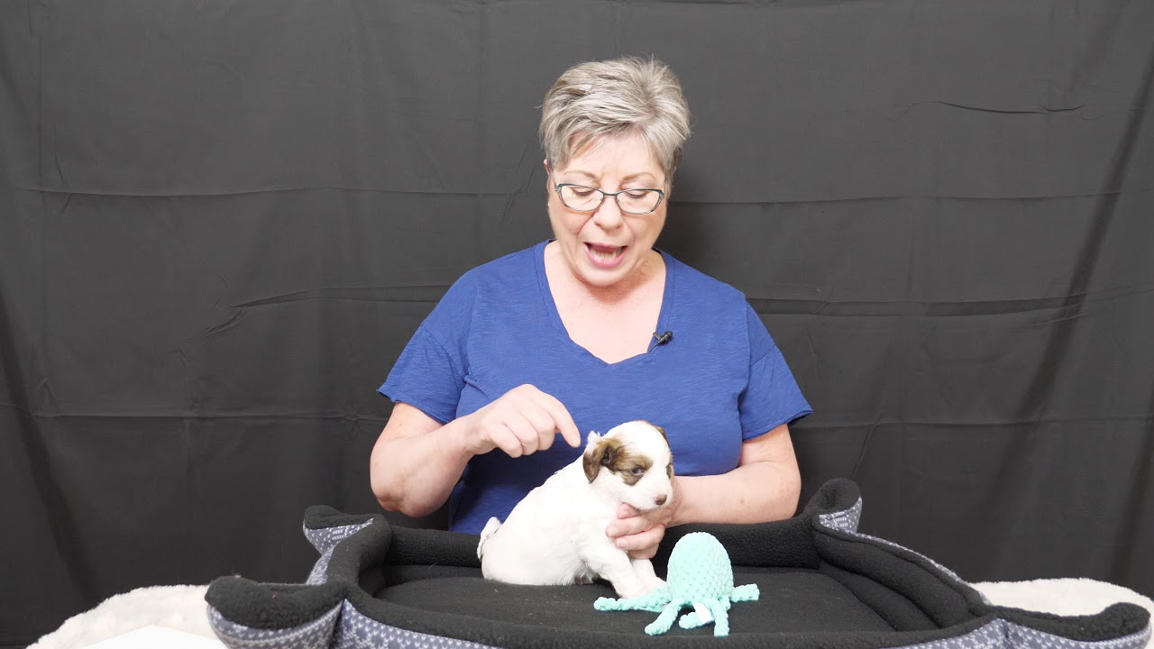 See cute 4 week old labradoodle puppies video